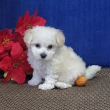 Gill Bichonpoo Puppy 629671 Puppyspot In 2020 Puppy Kisses Puppy Facts Happy Puppy