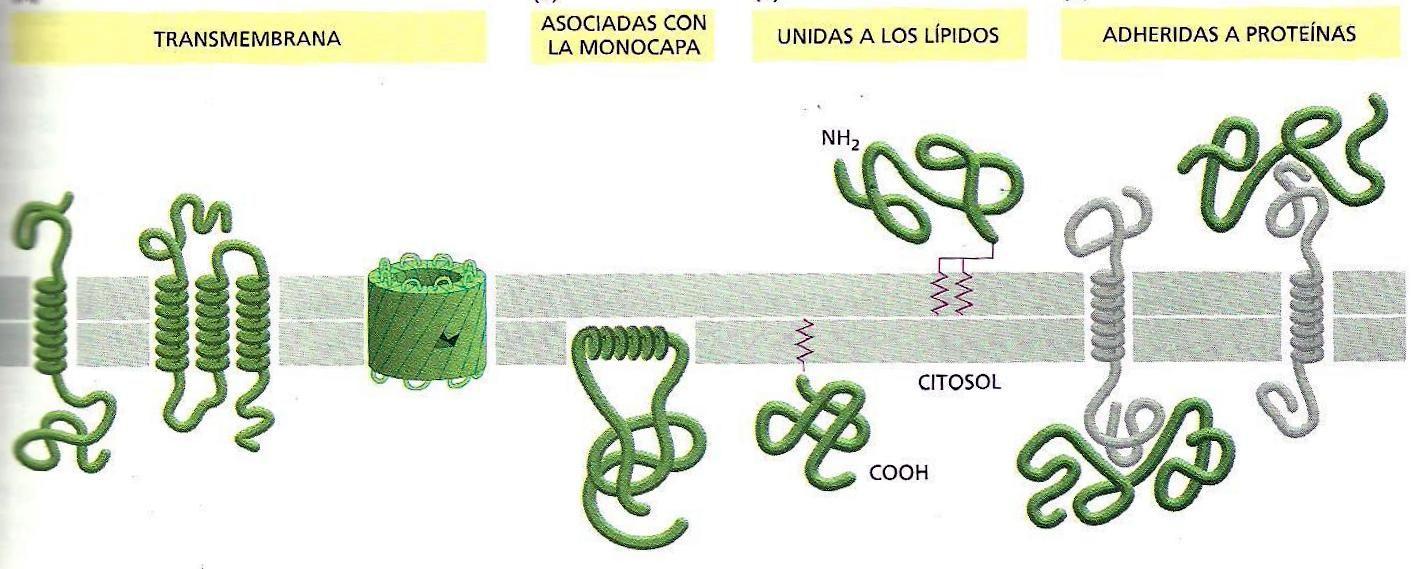Tipos de proteinas de membrana