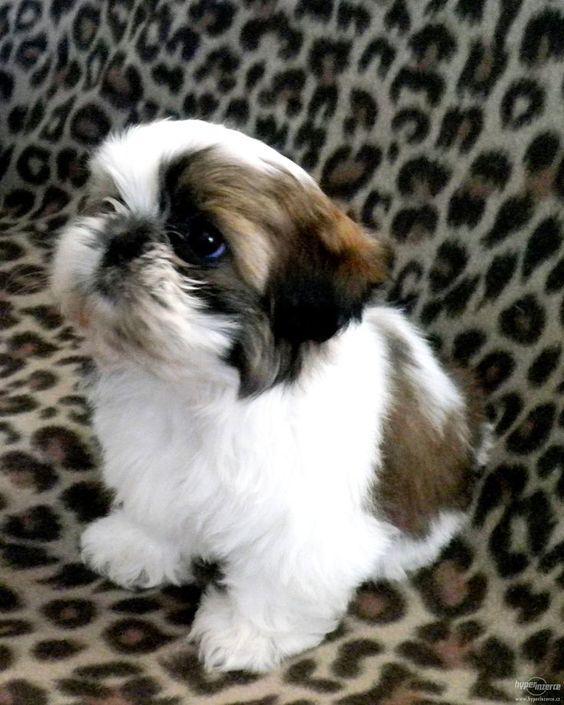 Shih Tzu Puppies Cute Pictures And Facts Shih Tzu Puppy Shitzu