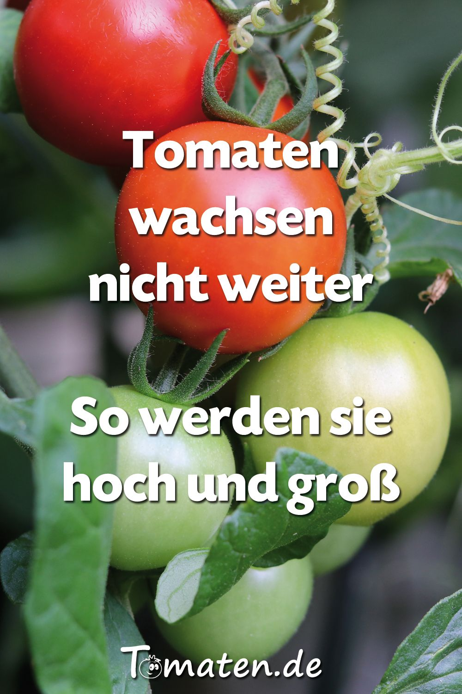 Pin Auf Tomatenanbau