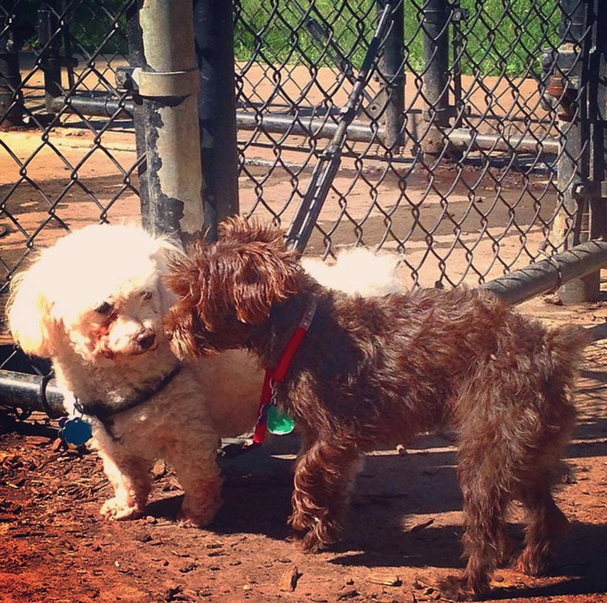 Making New Friends At Cunningham Park Dog Run Oakland Gardens Ny Angus Off Leash Dogs Puppies Cutedogs Dogparks Angusoffleash York Dog Dog Runs Dogs