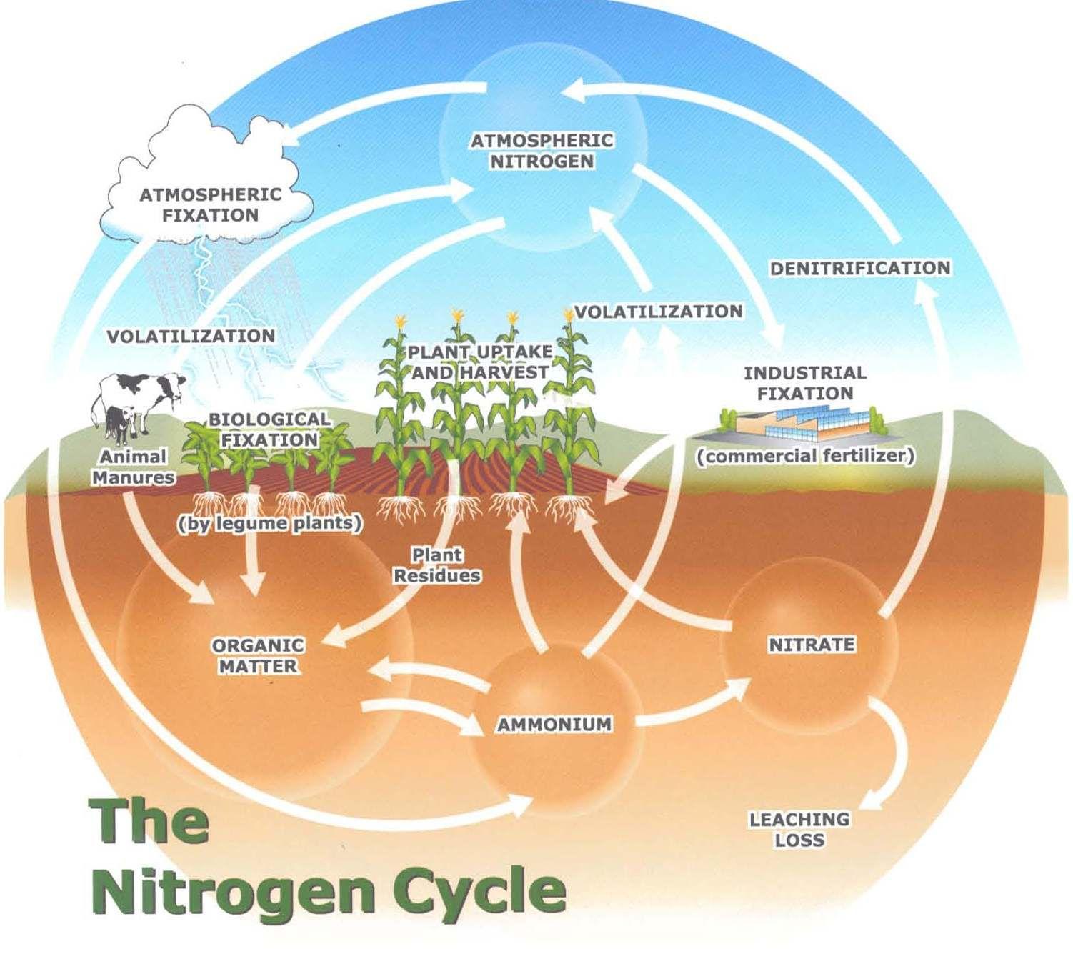nitrogen cycle sources of atmospheric nitrogen decay of animal plant matter sinks for atmospheric nitrogen bacteria in soil plankton [ 1502 x 1363 Pixel ]