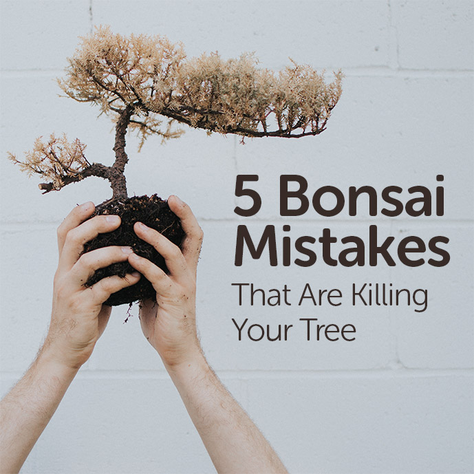 5 Bonsai Mistakes That Are Killing Your Tree - Basic Bonsai
