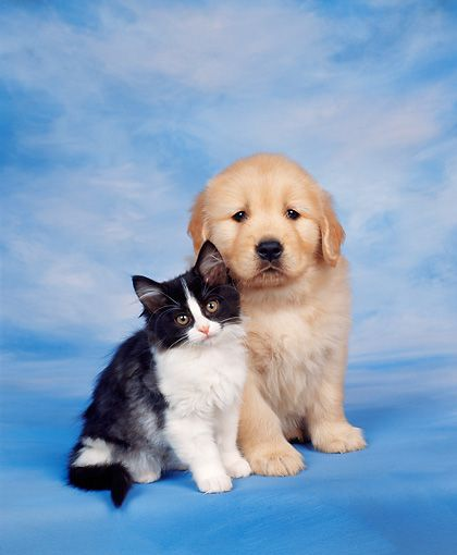 Dok 01 Rk0038 06 C Kimball Stock Golden Retriever Puppy And Kitten