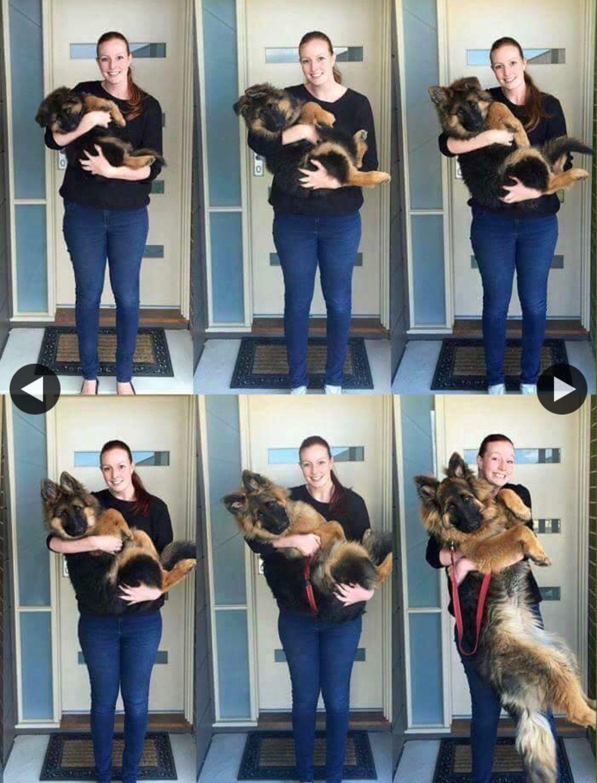 Pin By Jana Ahmed On Dogs Shepherd Puppies German Shepherd