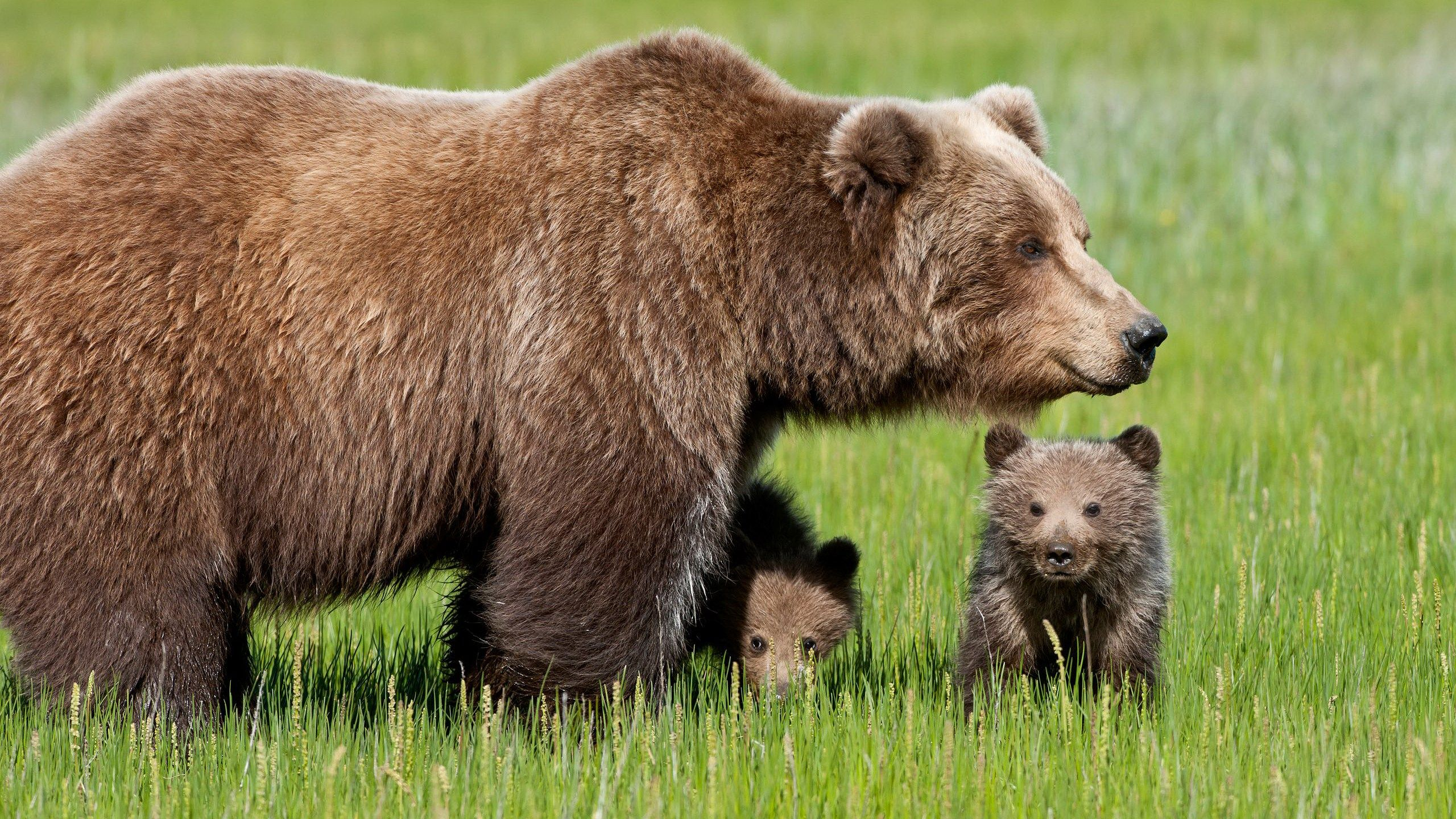 grizzly bear mom and cub picture