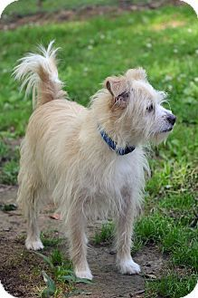 Allentown Va Cairn Terrier Westie West Highland White Terrier Mix Meet Buster A Dog For Adoption Buster Is A Beautiful Scruffy Boy Who We Cairn Terrier Mix