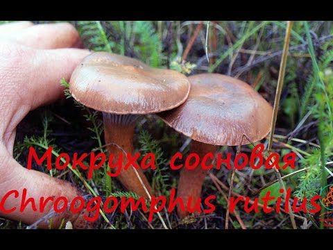 Мокруха сосновая - хороший гриб! - YouTube
