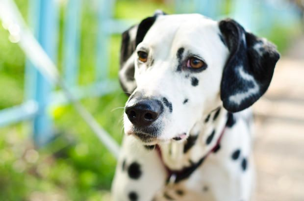 11 spotted facts about dalmatians pinterest fire trucks