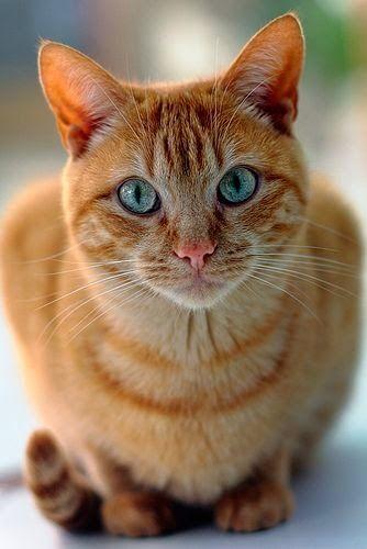 Google Orange Tabby Cats Cute Cats Kittens