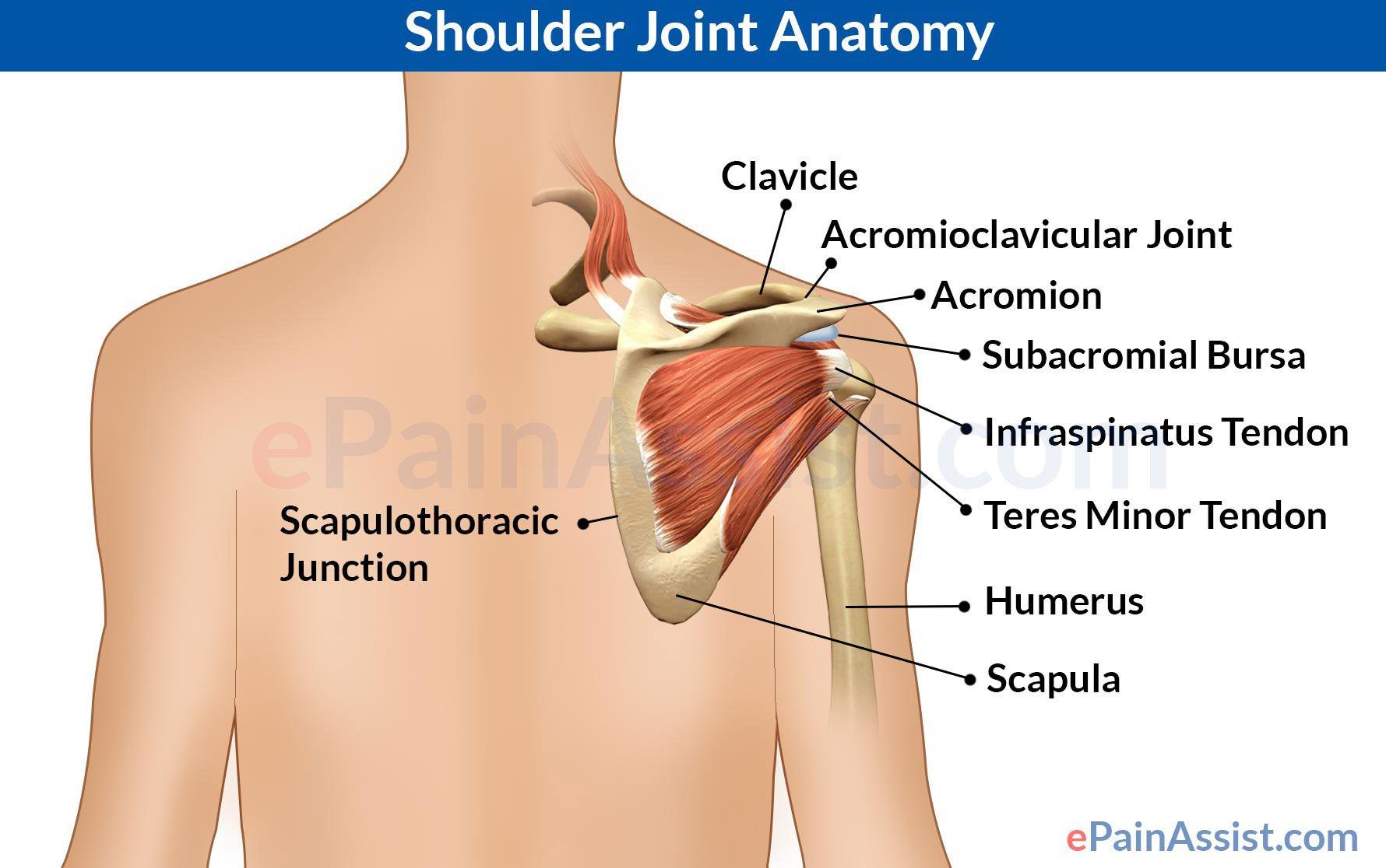 Shoulder Joint Anatomy   Pinterest   Shoulder joint anatomy ...