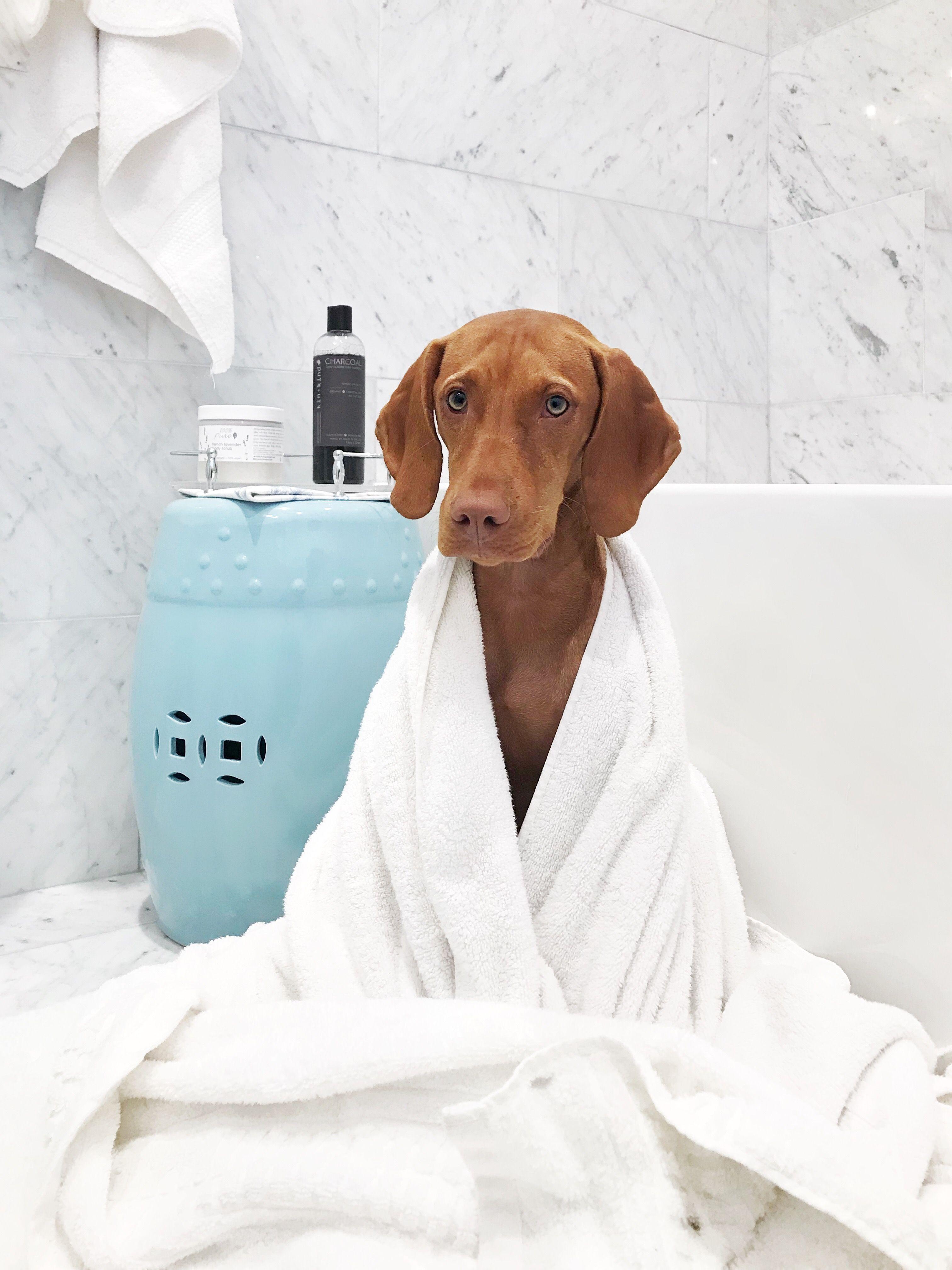 Resultado de imagen para vizsla bath time