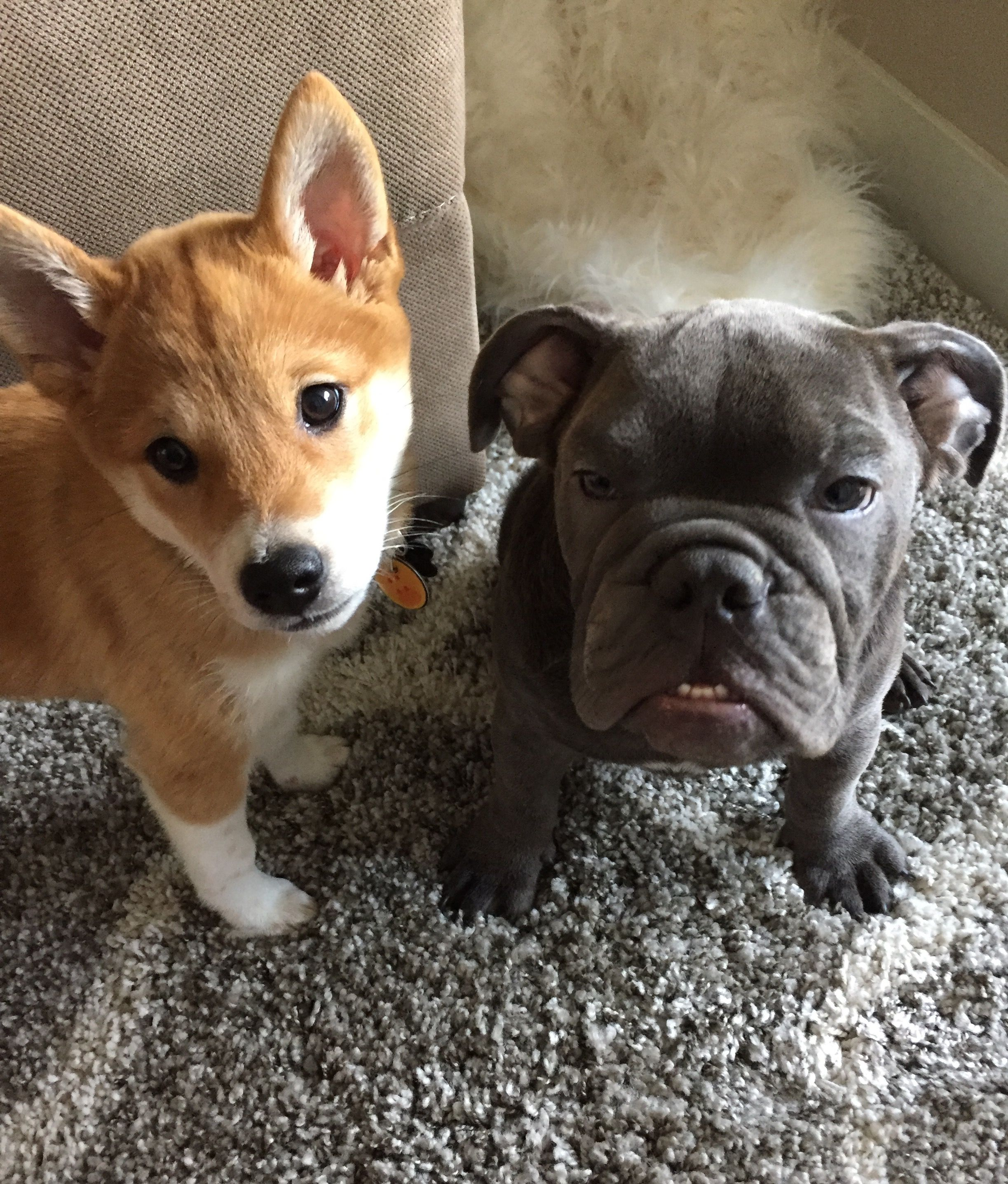 The cutest puppies ever Shiba Inu pup and blue English Bulldog
