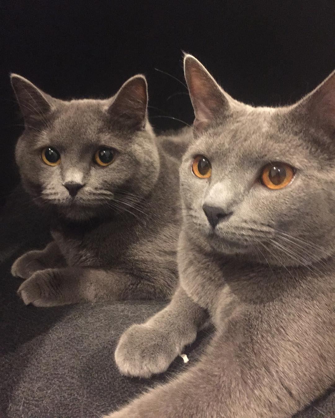 Hello World Catsofinstagram Cats Nalakeegan Britishblue Chartreux Instagramcat Petme British French London By Nala Chartreux Cats Of Instagram Cats
