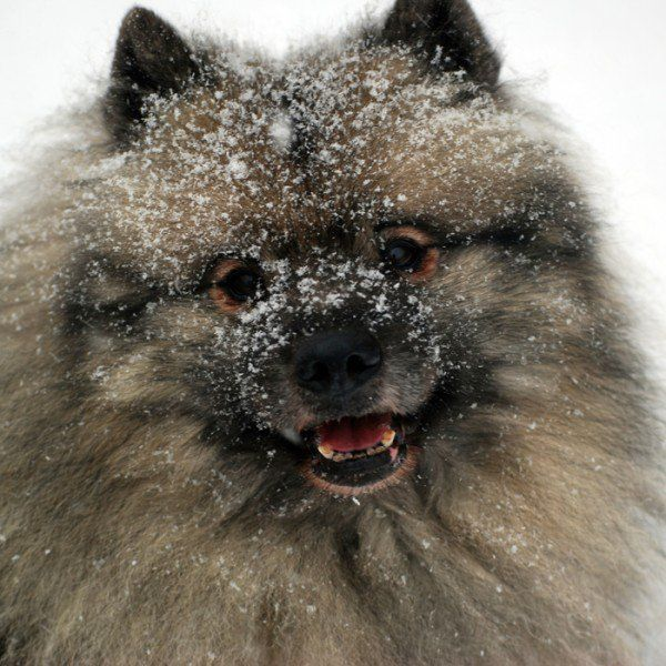 The 20 Best Cold-Weather Dog Breeds