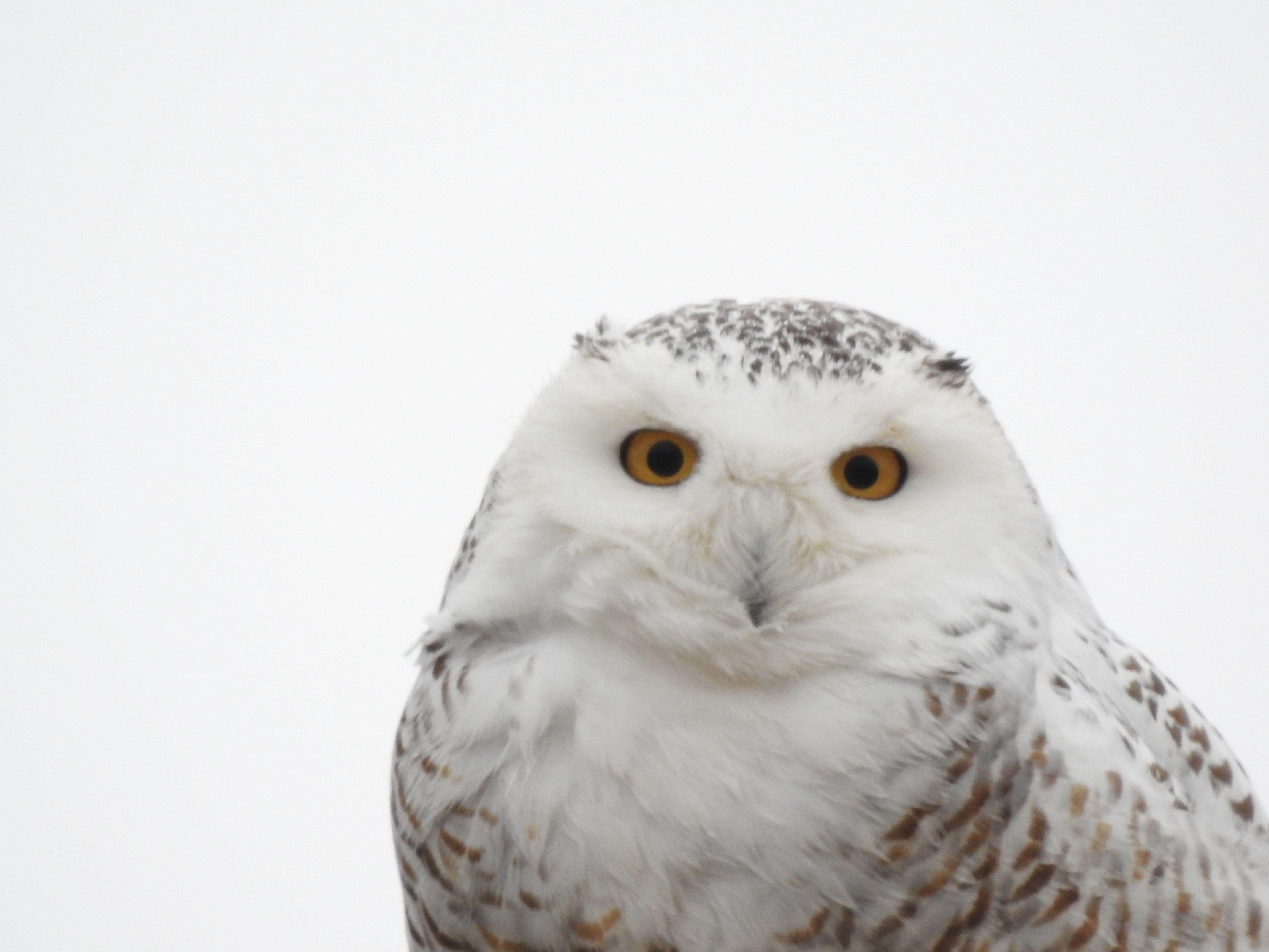 Snowy Owl Carroll County Il Feb 23 By Ken Groezinger