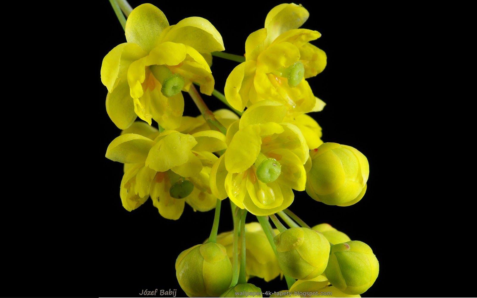 Tapety Na Pulpit 4k Ultra Hd Full Hd I Inne Rozdzielczosci Berberys Zwyczajny Kwiaty Berberis Vulgaris Wallpaper Plants The Originals