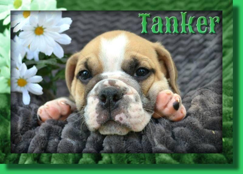 Tanker Male English Bulldog Mix 475 Companion Dog French