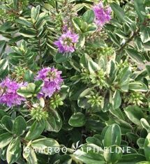 Hebe x andersonii \'Variegata\' Variegated Hebe **REPLACEMENT FOR ...