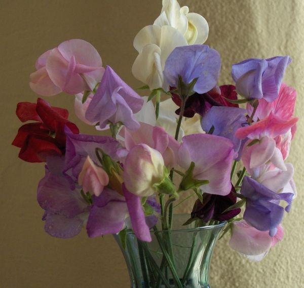 Google Image Result for http://www.hawthornfarm.ca/images/flowers/sweetpea_oldspice.jpg
