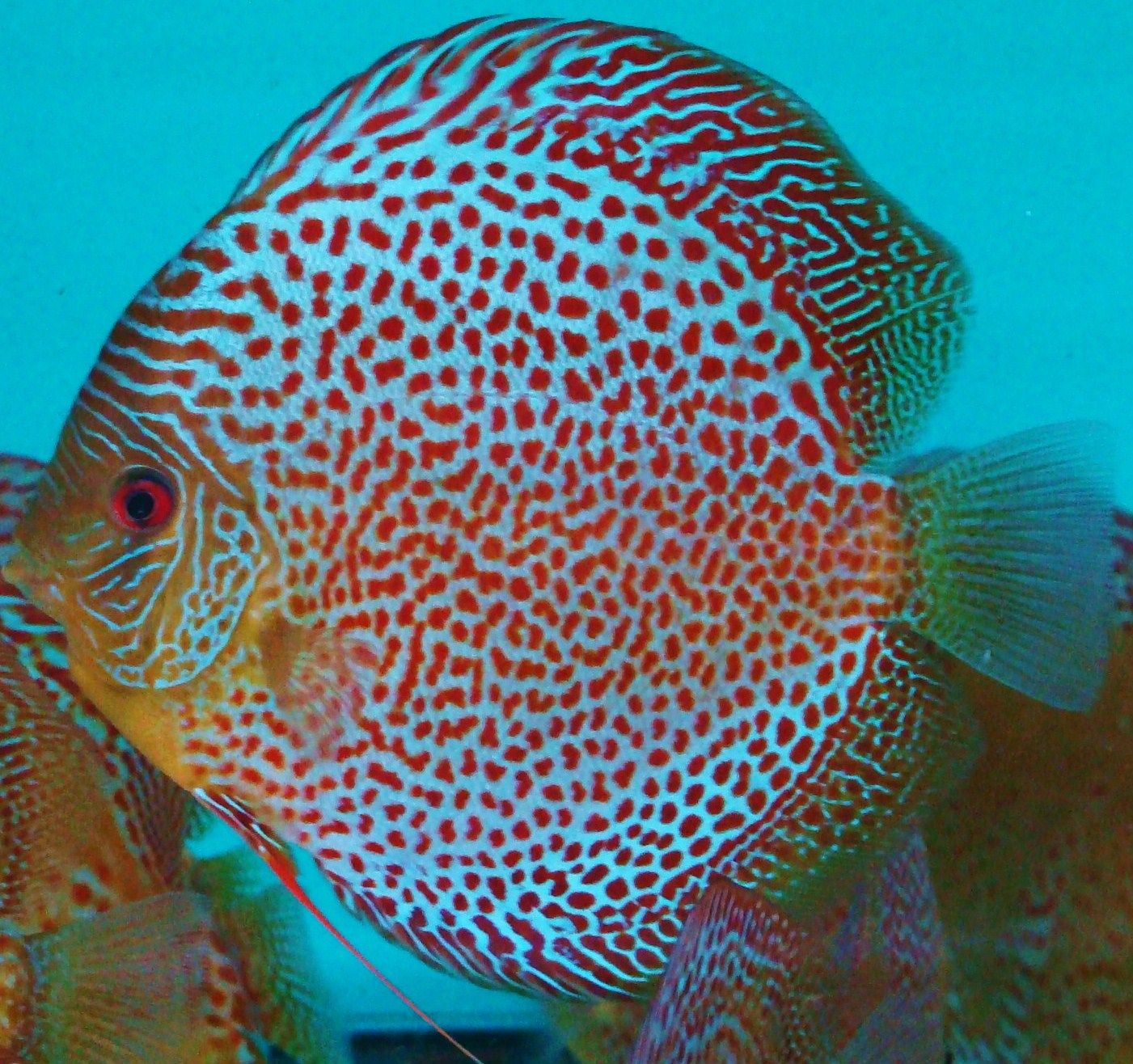 Snakeskin Discus Fish Discus Fish Freshwater Fish Tropical Freshwater Fish