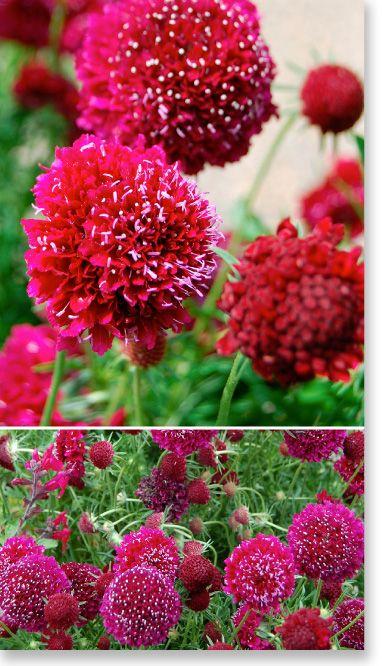 """Plants Management Australia Pty Ltd - Scabiosa """"Crimson Clouds"""""""