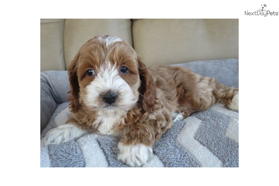 Marshall cockapoo puppy for sale near south bend