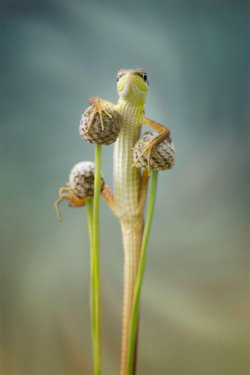 lizard my hero by Hendy Mp