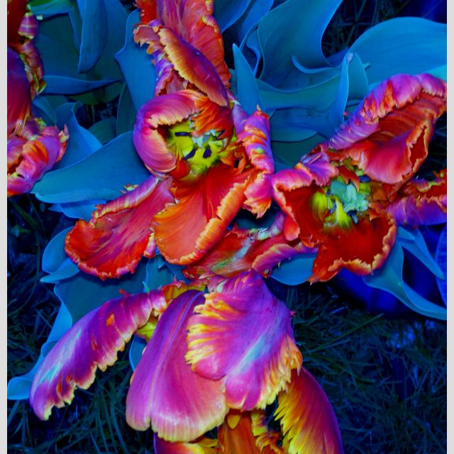 Rainbow Parrot Tulips. Photo from iPhone, no credit when this happens.