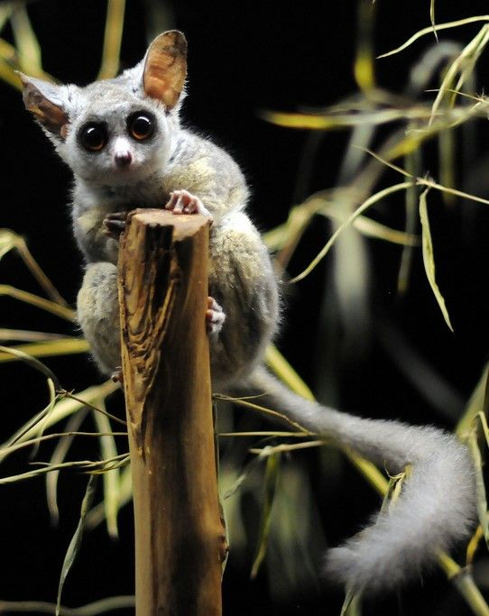 Southern Lesser Bush Baby Photo By Joachim S Muller With