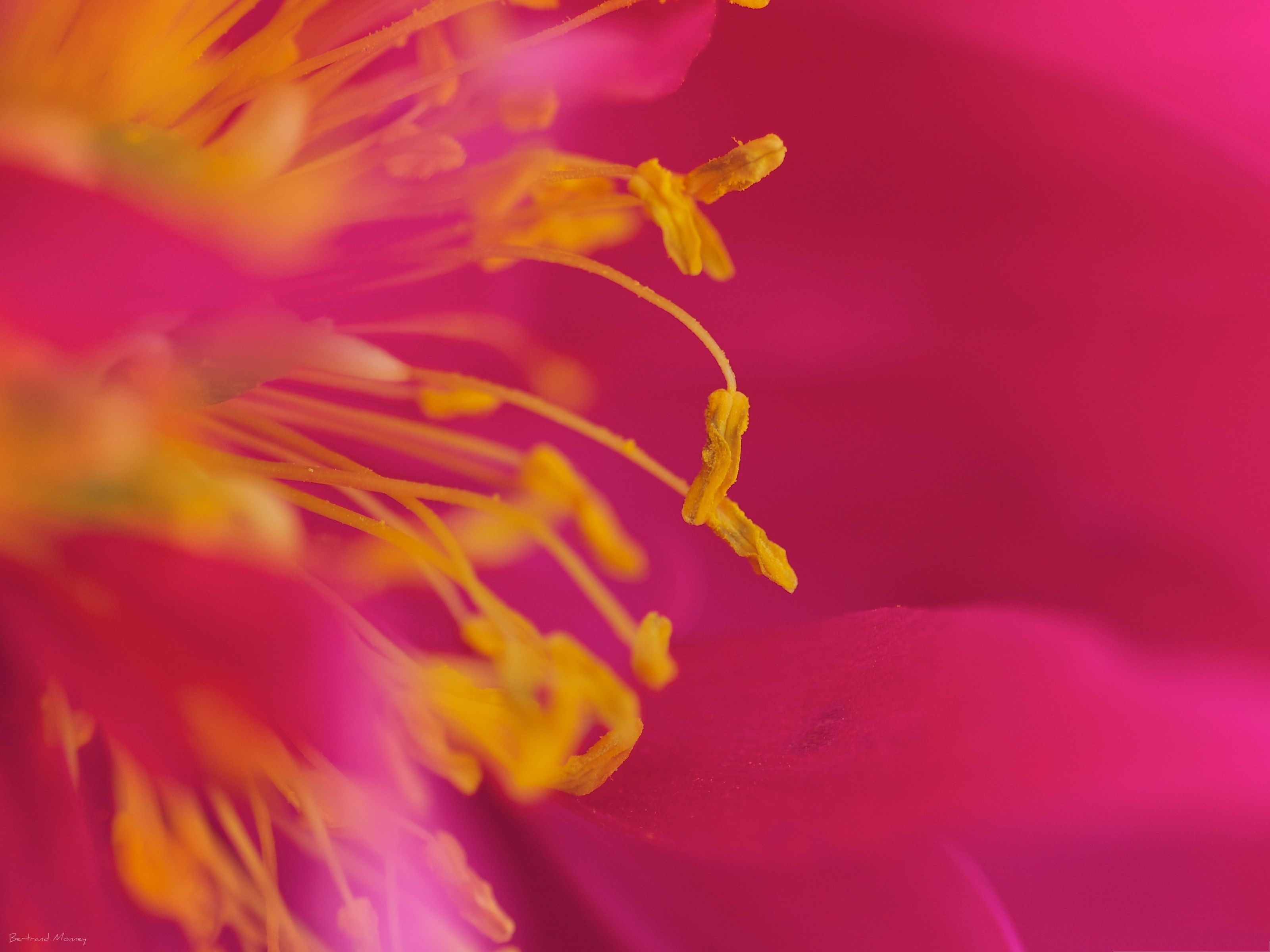 Beautiful flowers picture pink blooming flower and yellow stamen beautiful flowers picture pink blooming flower and yellow stamen mightylinksfo Gallery