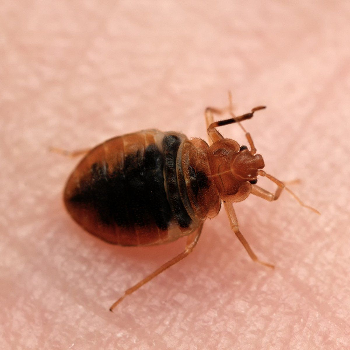 How to Get Rid of Bed Bugs A DIY Guide in 2020 Bed bugs