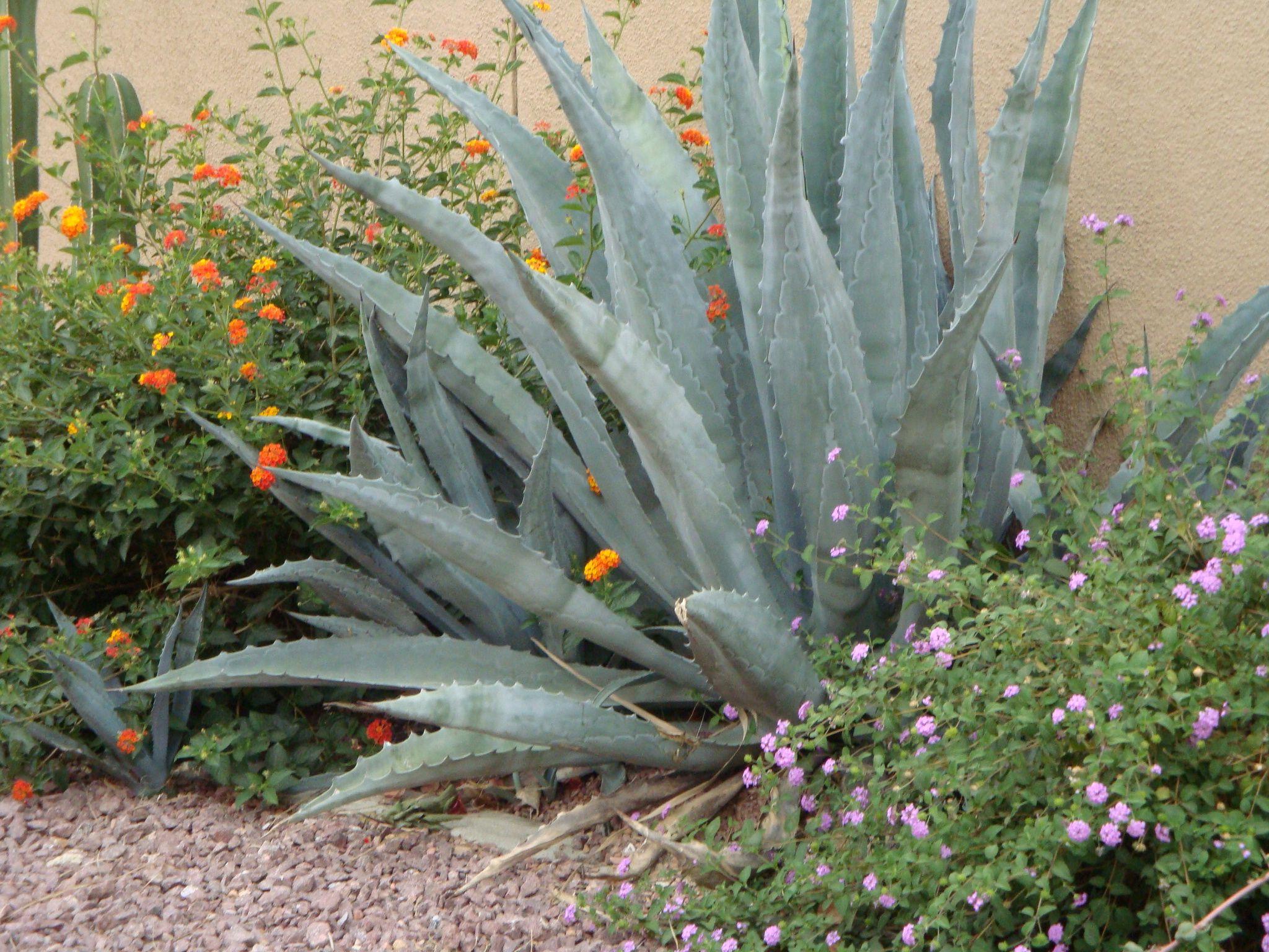 Desert garden arizona gardening front landscaping