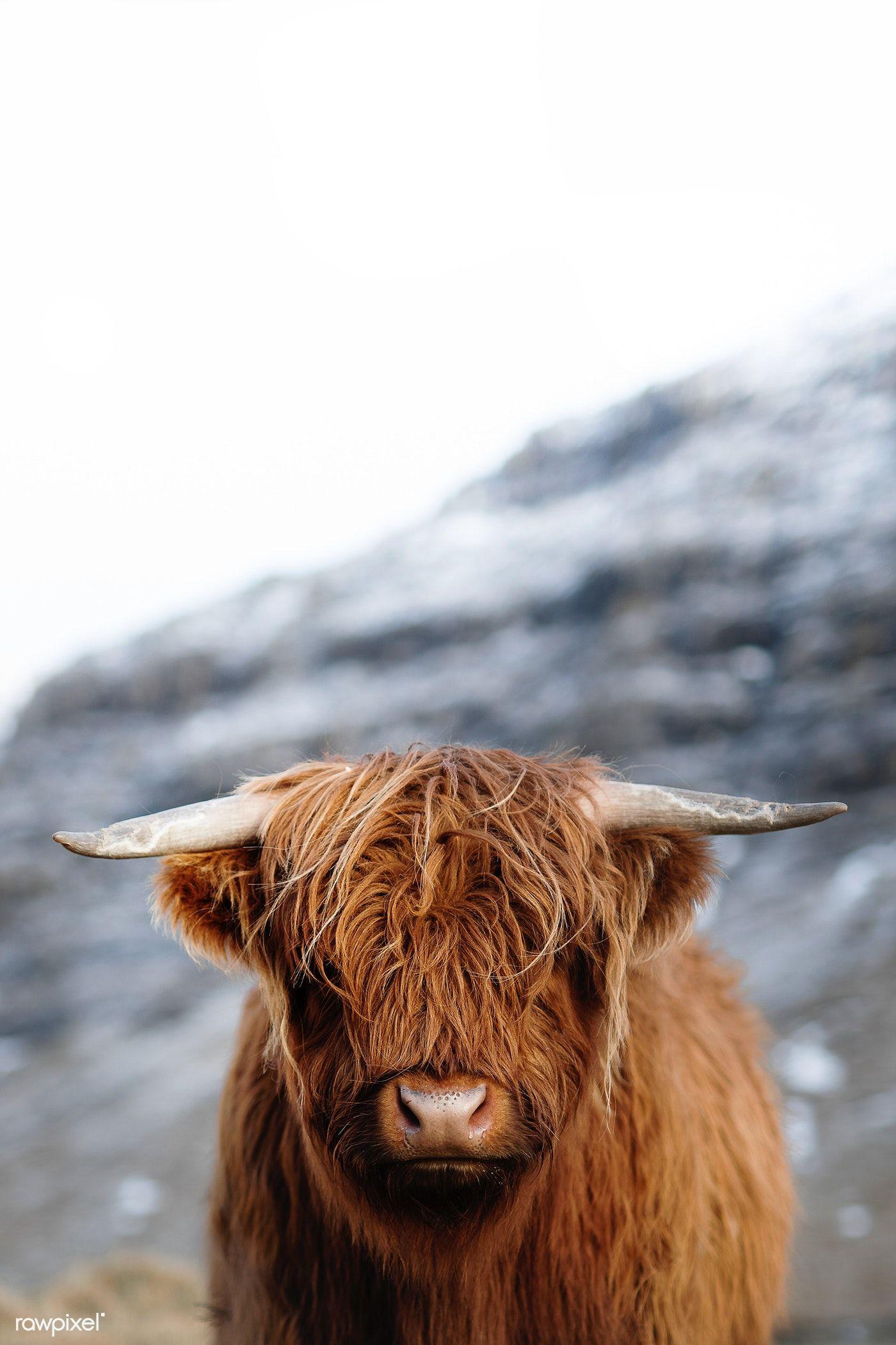 Download Premium Image Of Scottish Highland Calf In The Field 2208650 Highland Calf Scottish Highland Calf Scottish Highland Cow