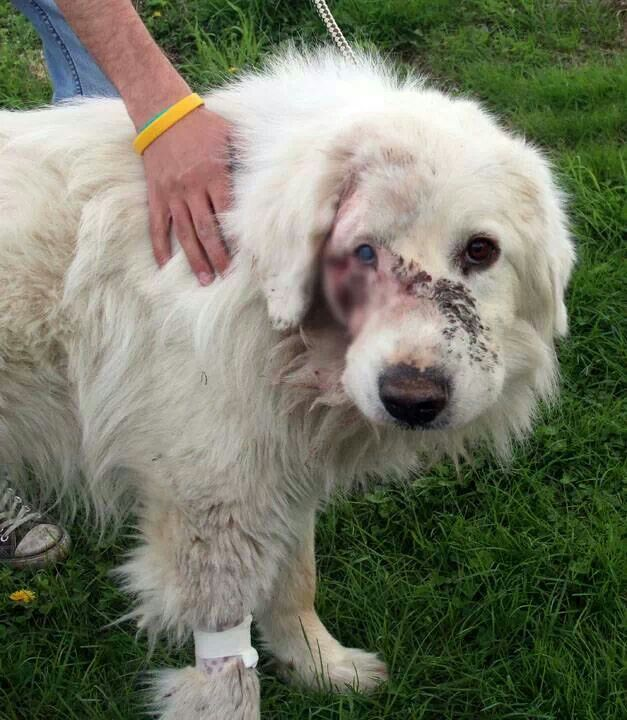 This Is What Happend When Someone Gave Their Family Dog For Free On Craigslist Family Dogs Great Pyrenees Dogs