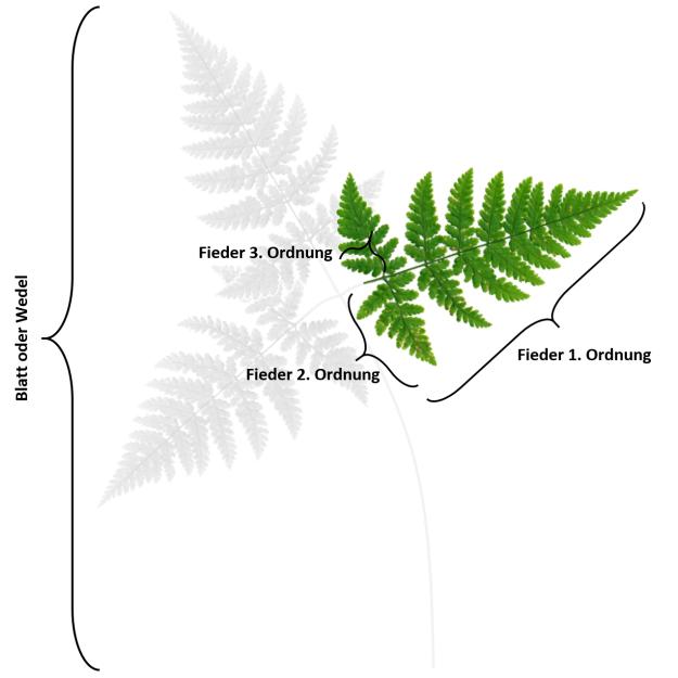 Garten Und Landschaftsbau Wedel erklärung wedel fieder farne farne arten und blüten