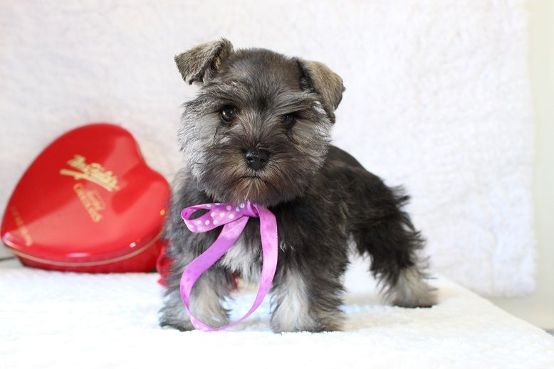 Toy Teacup And Miniature Schnauzer Puppies For Sale Oklahoma Schnauzer Puppy Miniature Schnauzer Puppies Puppies