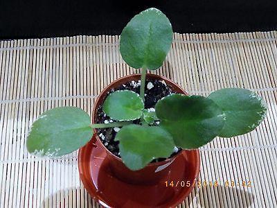 African-Violet-Saintpaulia-LE-Nastya-starter-plant