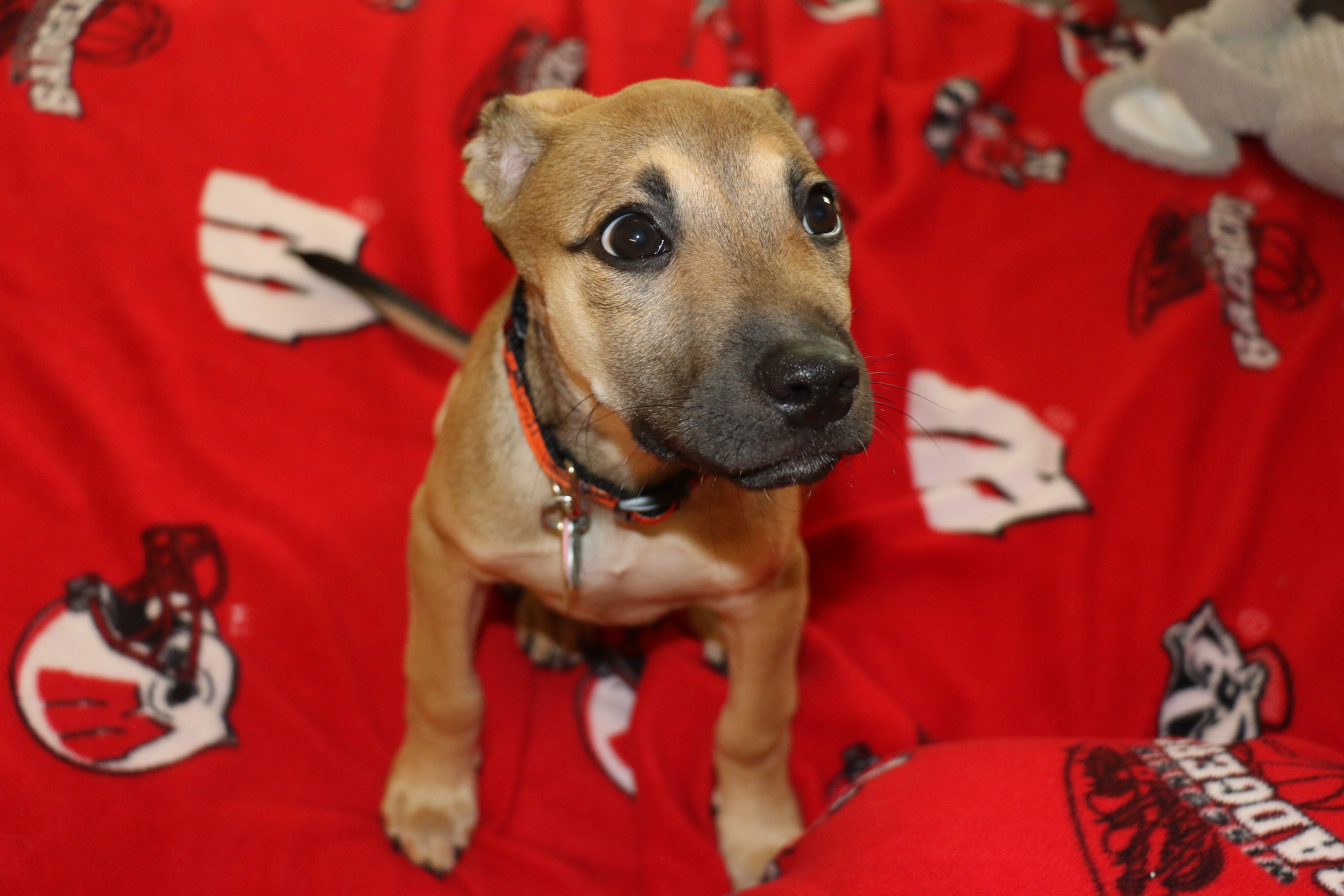 Lab Boxer Mix Puppy Boxador Lab Labrador Boxer Puppy Adoptdontshop Story Of A Rescue Pup Boxer Mix Puppies Puppy Adoption Puppies