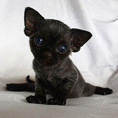 So Cute Devon Rex Devon Rex Cats Devon Rex Kittens Cute Black Kitten