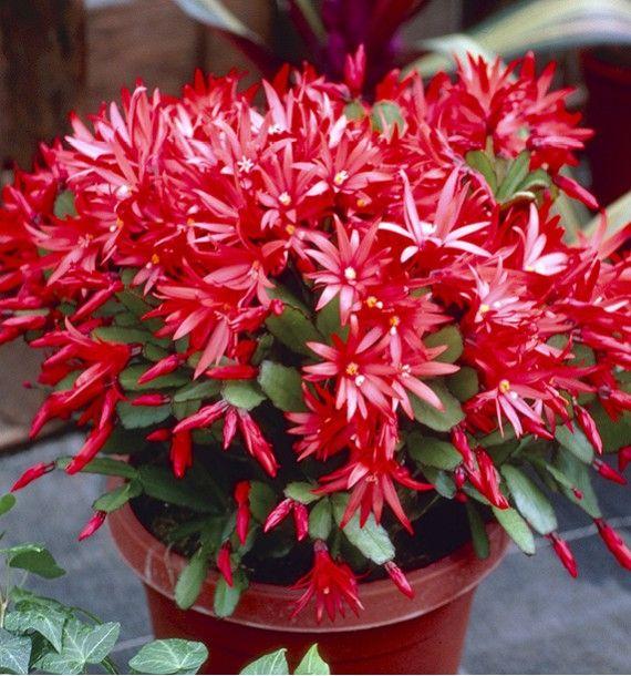 Cactus De Noel Plantes D Interieur Plantes D Interieur