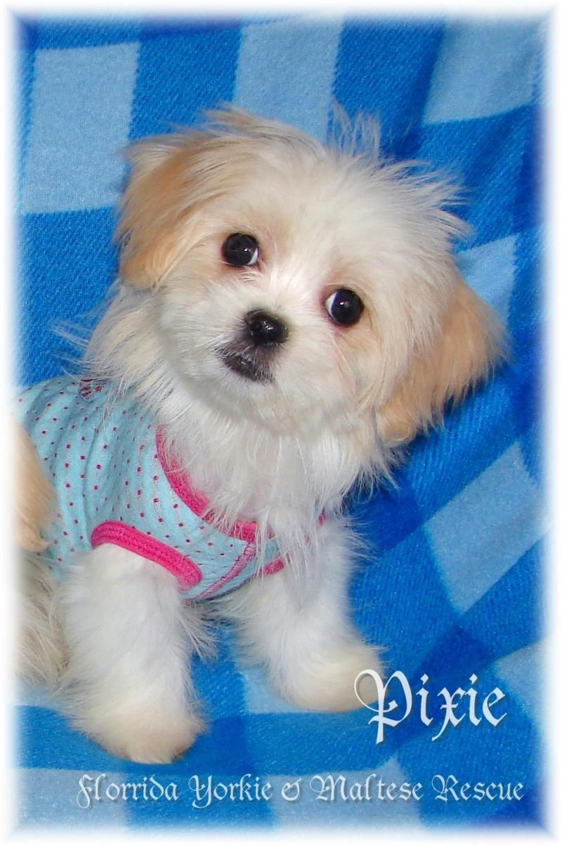 Adopt Pixie on (With images) Maltese puppy, Animal