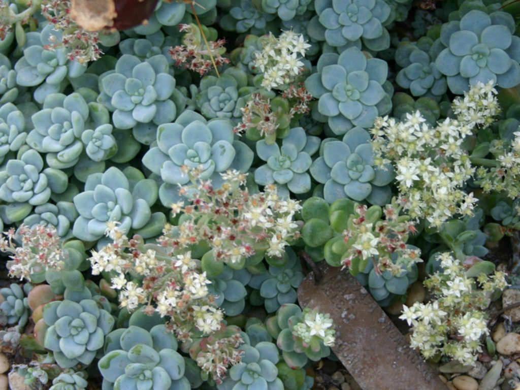 Sedum Clavatum Tiscalatengo Gorge Sedum Jardins Plantes
