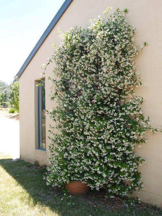 Photo of Gartendekoration mit Jasmin die beliebteste Kletterpflanze