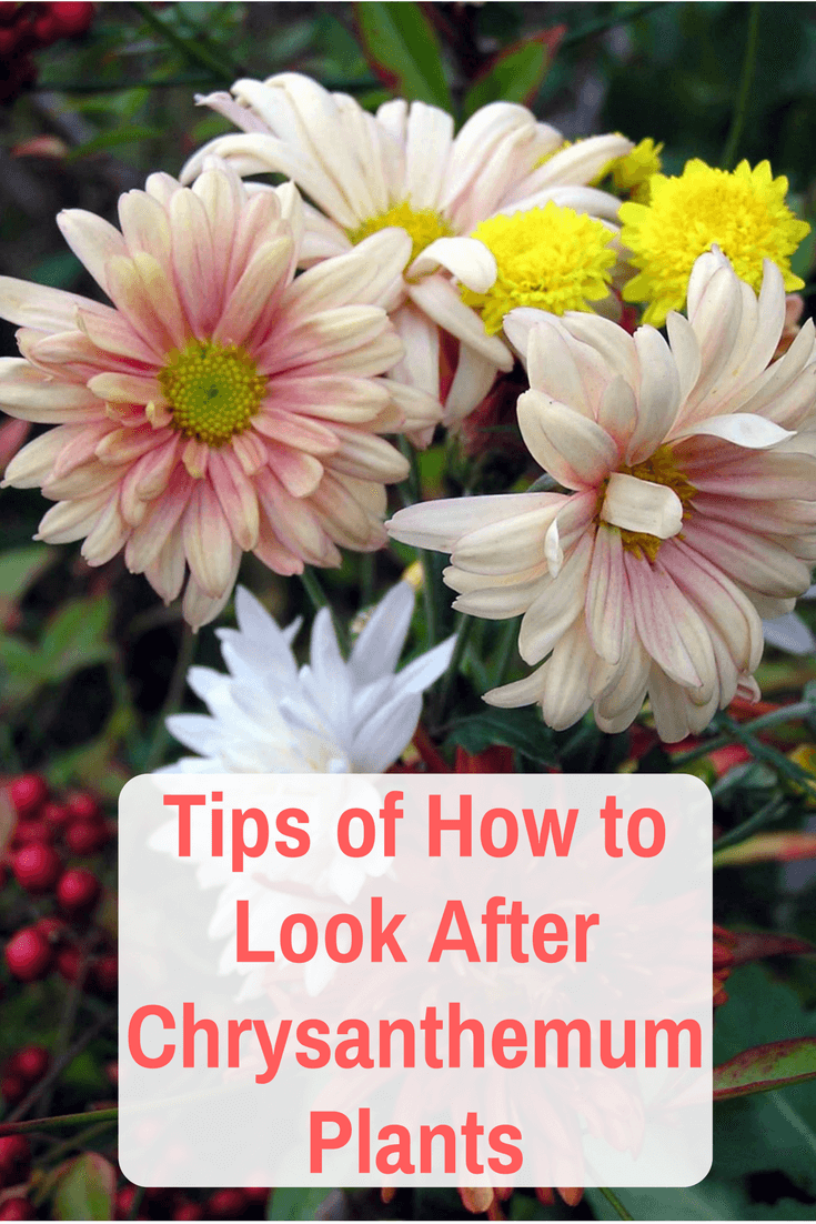 Tips Of How To Look After Chrysanthemum Plants Chrysanthemum Plant Chrysanthemum Care Chrysanthemum