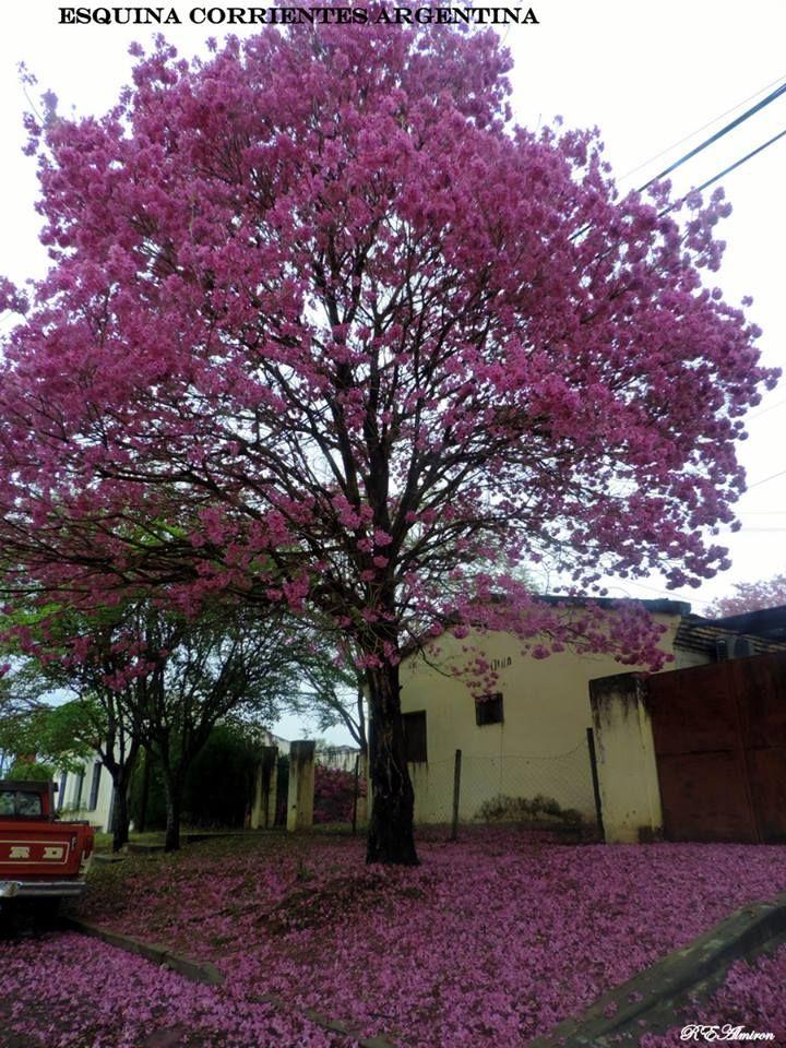 lapacho en flor flores y color bonsa y jardins