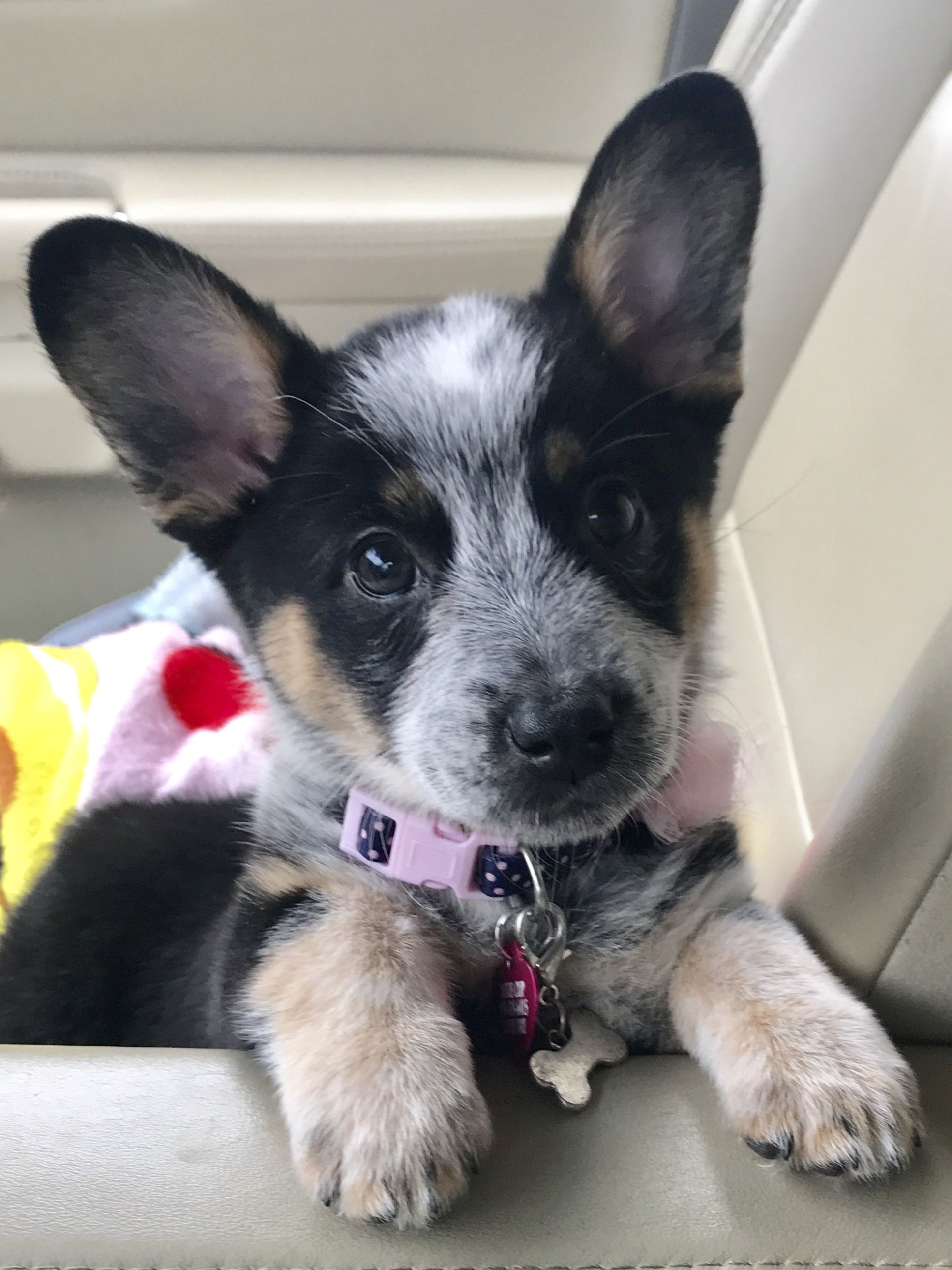 Cowboy Corgi Puppy Named Dixie With Images Austrailian Cattle