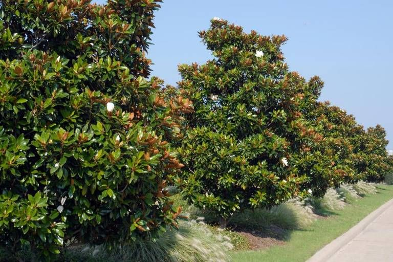 Great screening shrubs for North Texas, when privacy ...