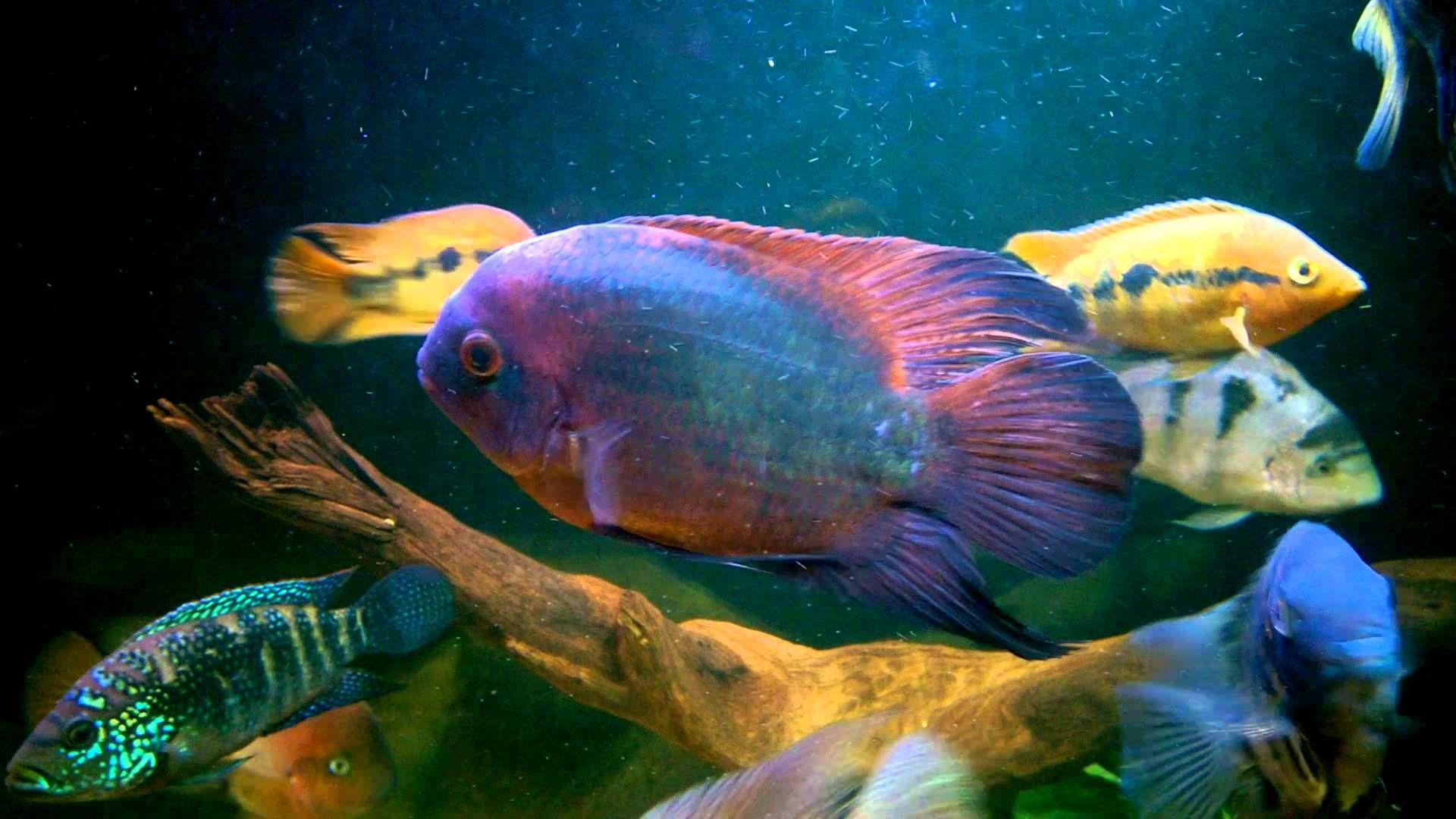 Mr Bear With Images Cichlids Cichlid Fish African Cichlids