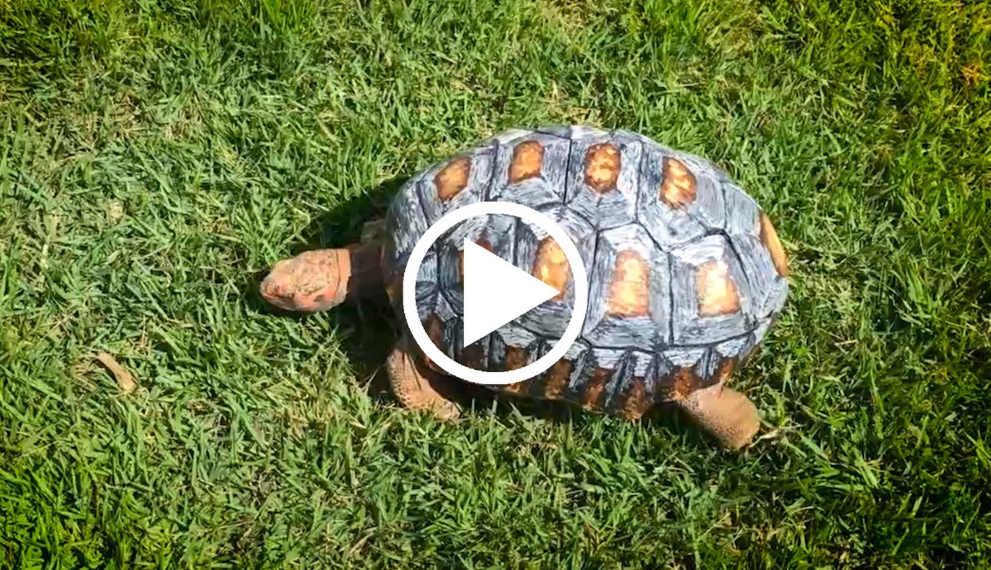 Tortoise Gets The Worlds First DPrinted Shell Shell Tortoise - Tortoise gets 3d printed shell